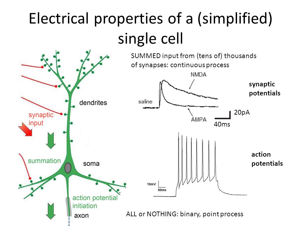 Electrical properties of a (simplified) single cell ALL or NOTHING: binary, point process SUMMED input from (tens of) thousands of synapses: continuous process 40ms 20pA synaptic potentials action potentials