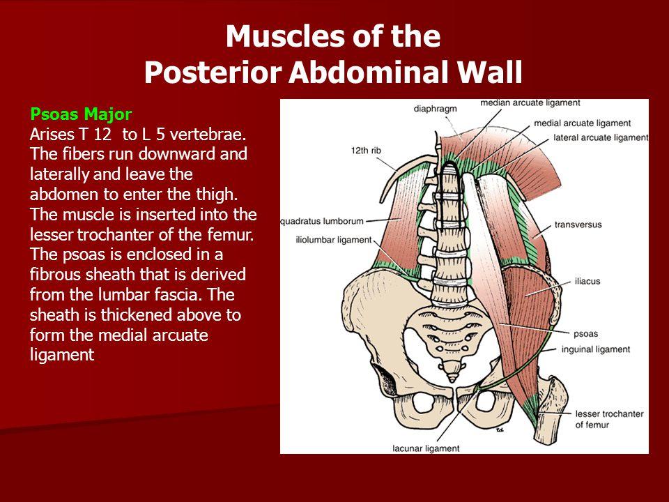 Quadratus Lumborum Is quadrilateral-shaped muscle, lies alongside the vertebral column.