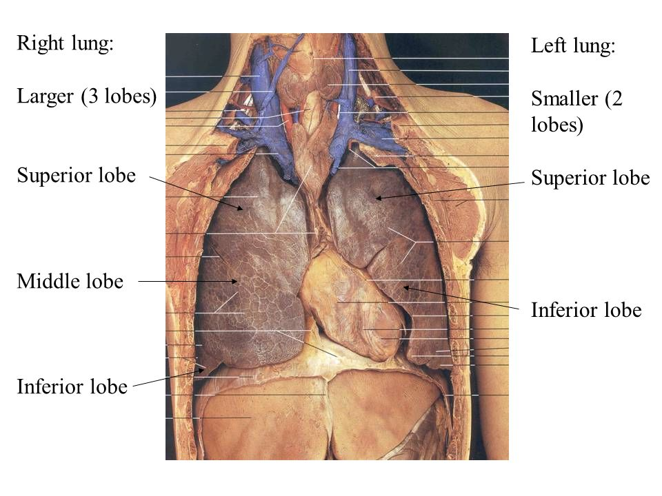 Left lung: Smaller (2 lobes) Superior lobe Inferior lobe Right lung: Larger (3 lobes) Superior lobe Middle lobe Inferior lobe