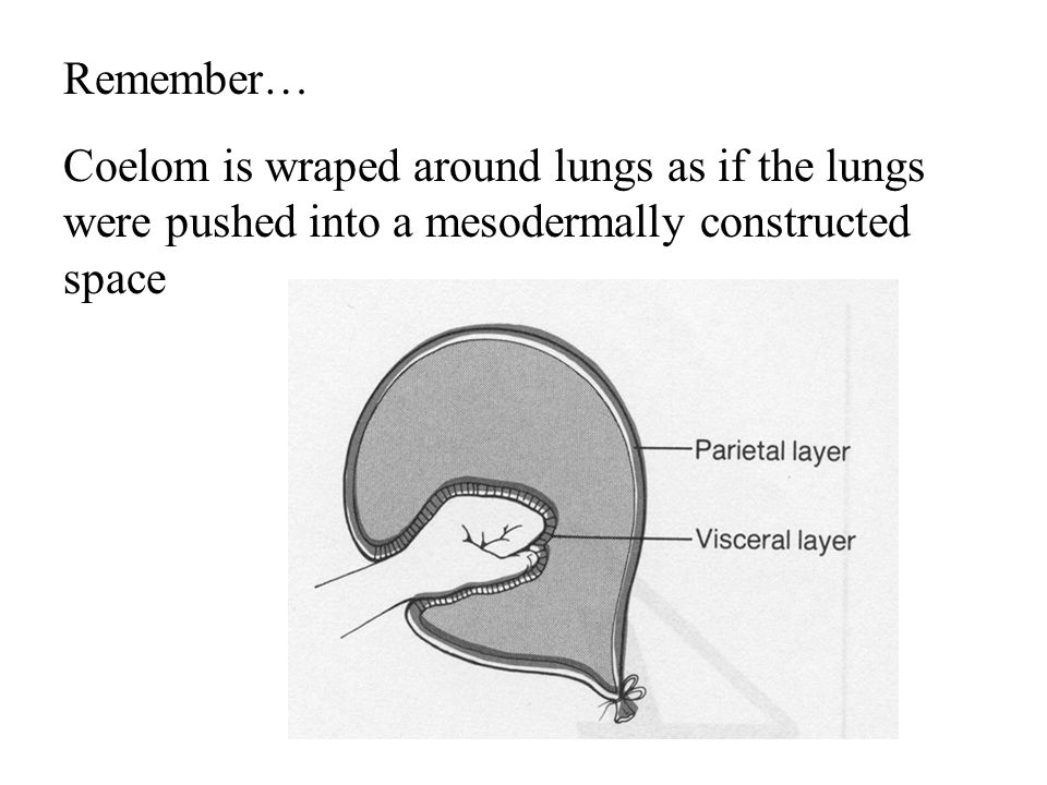 Remember… Coelom is wraped around lungs as if the lungs were pushed into a mesodermally constructed space