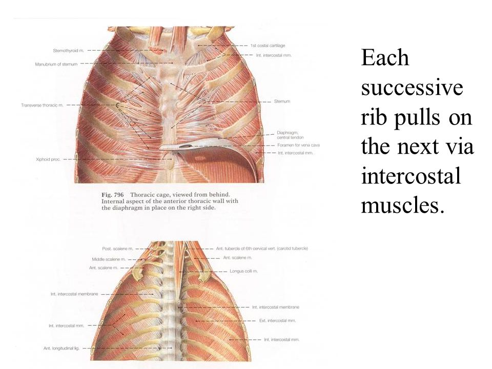 Each successive rib pulls on the next via intercostal muscles.