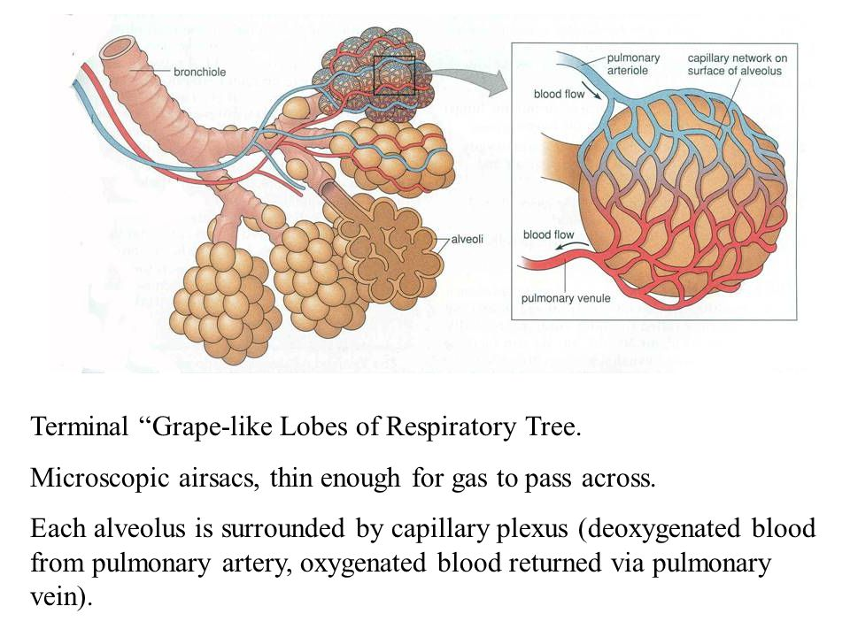 Terminal Grape-like Lobes of Respiratory Tree.