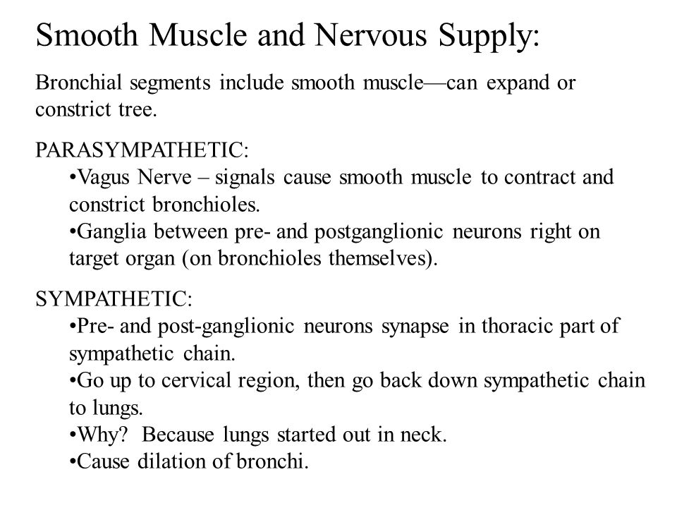 Smooth Muscle and Nervous Supply: Bronchial segments include smooth muscle—can expand or constrict tree.