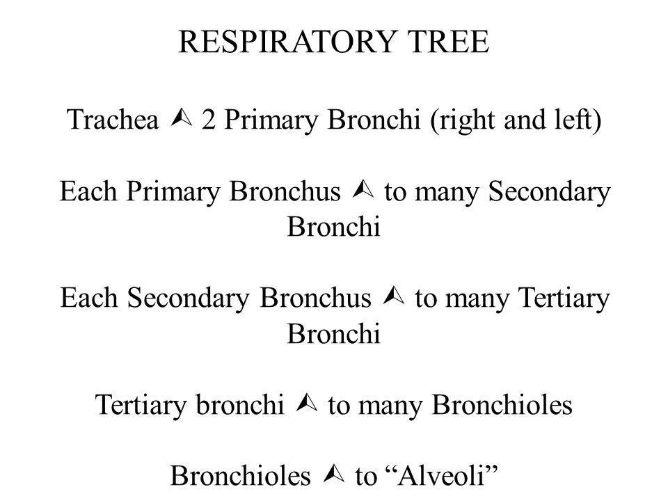 RESPIRATORY TREE Trachea  2 Primary Bronchi (right and left) Each Primary Bronchus  to many Secondary Bronchi Each Secondary Bronchus  to many Tertiary Bronchi Tertiary bronchi  to many Bronchioles Bronchioles  to Alveoli