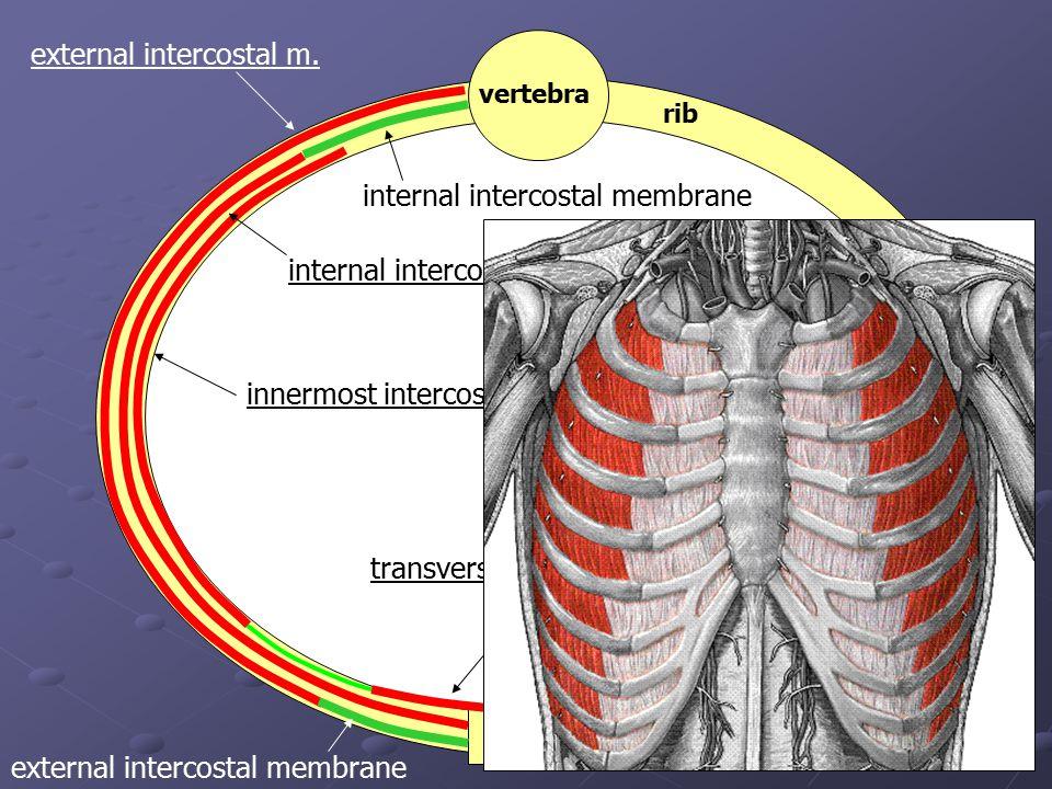 vertebra sternum rib innermost intercostal m. transversus thoracis m. external intercostal m. external intercostal membrane internal intercostal m. in