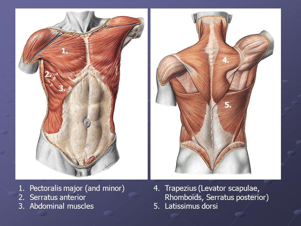 1. 2. 3. 4. 5. 1.Pectoralis major (and minor) 2.Serratus anterior 3.Abdominal muscles 4.Trapezius (Levator scapulae, Rhomboids, Serratus posterior) 5.
