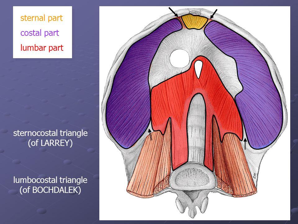 sternal part costal part lumbar part sternocostal triangle (of LARREY) lumbocostal triangle (of BOCHDALEK)