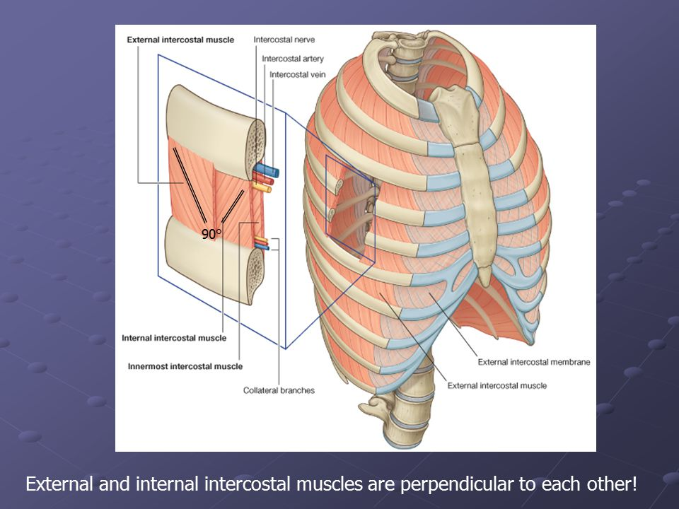External and internal intercostal muscles are perpendicular to each other! 90°