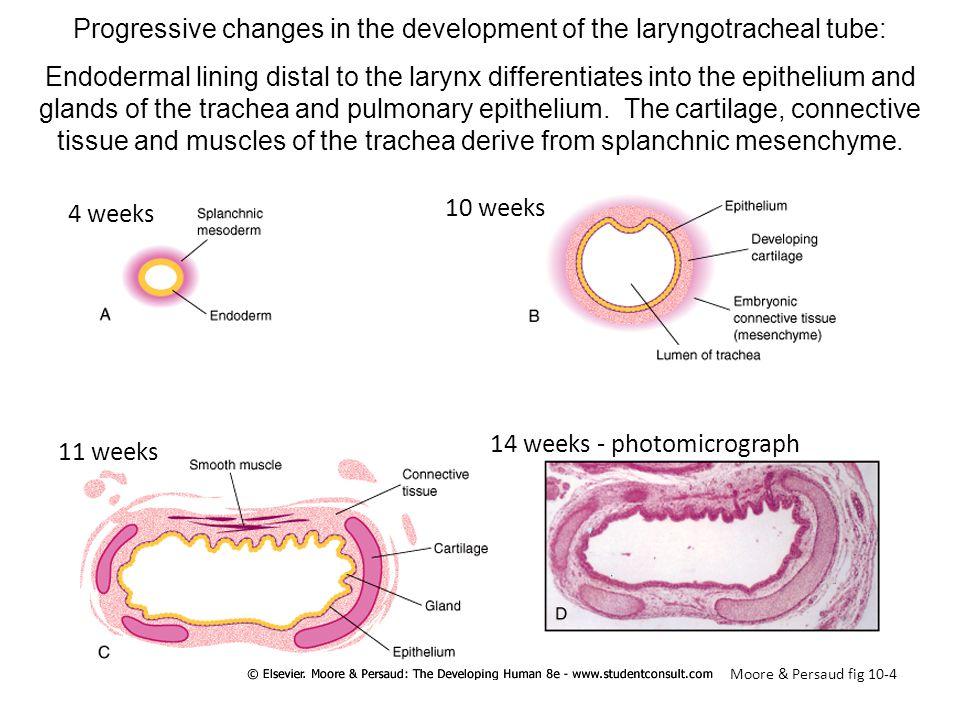 4 weeks 10 weeks 11 weeks 14 weeks - photomicrograph Progressive changes in the development of the laryngotracheal tube: Endodermal lining distal to t