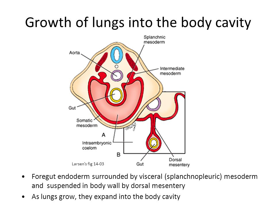 Growth of lungs into the body cavity Foregut endoderm surrounded by visceral (splanchnopleuric) mesoderm and suspended in body wall by dorsal mesenter