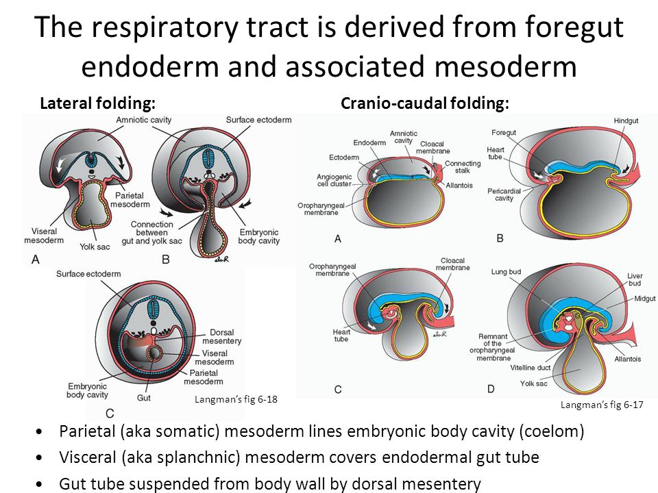 The respiratory tract is derived from foregut endoderm and associated mesoderm From endoderm: epithelial lining of trachea, larynx, bronchi, alveoli From splanchnic mesoderm: cartilage, muscle, and connective tissue of tract and visceral pleura.