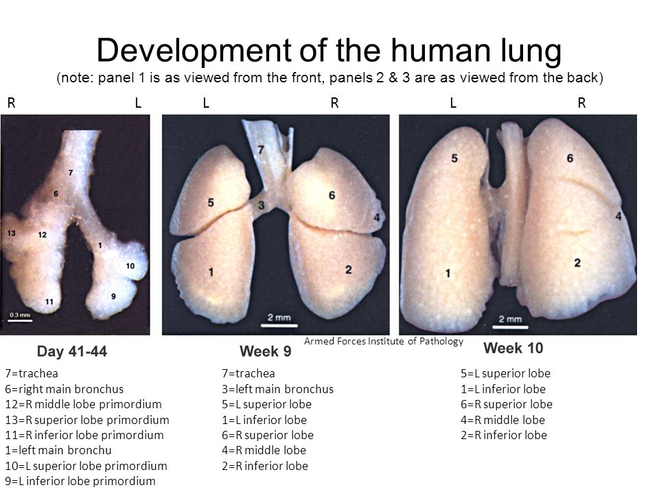 Development of the human lung (note: panel 1 is as viewed from the front, panels 2 & 3 are as viewed from the back) RLLRLR 7=trachea 6=right main bron