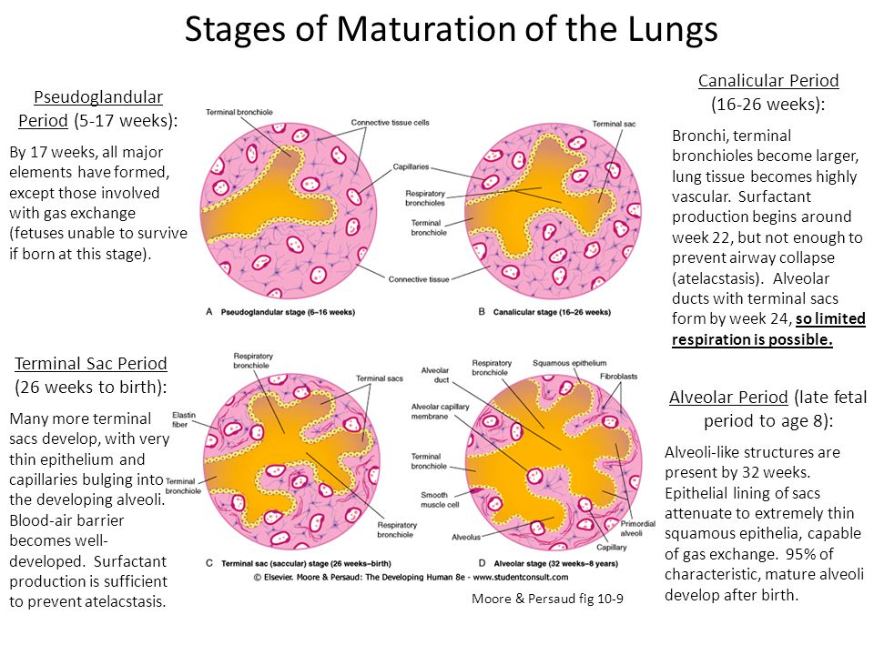 Stages of Maturation of the Lungs Pseudoglandular Period (5-17 weeks): By 17 weeks, all major elements have formed, except those involved with gas exc