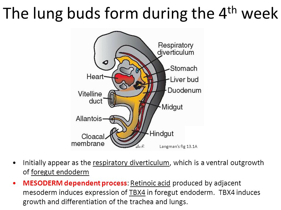 The lung buds form during the 4 th week Initially appear as the respiratory diverticulum, which is a ventral outgrowth of foregut endoderm MESODERM de