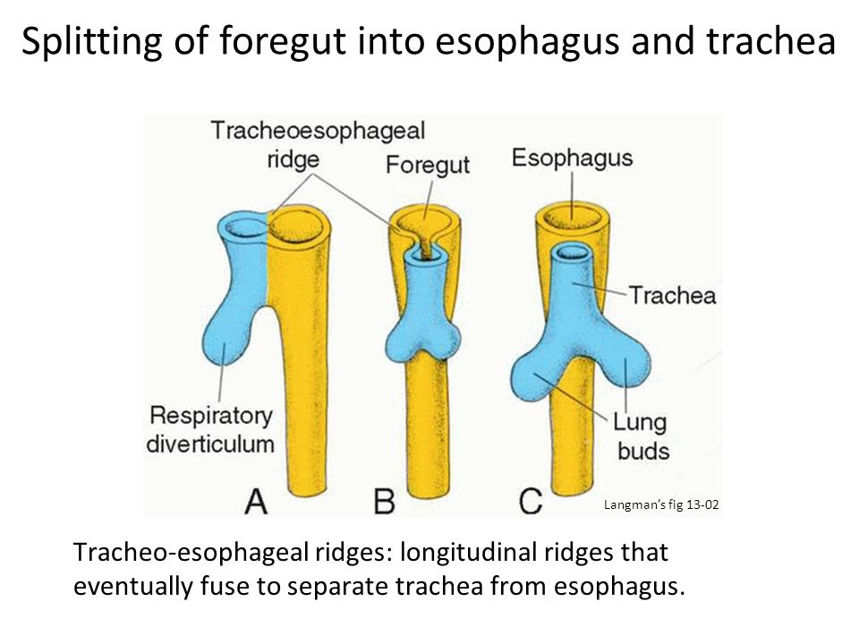 Splitting of foregut into esophagus and trachea Tracheo-esophageal ridges: longitudinal ridges that eventually fuse to separate trachea from esophagus
