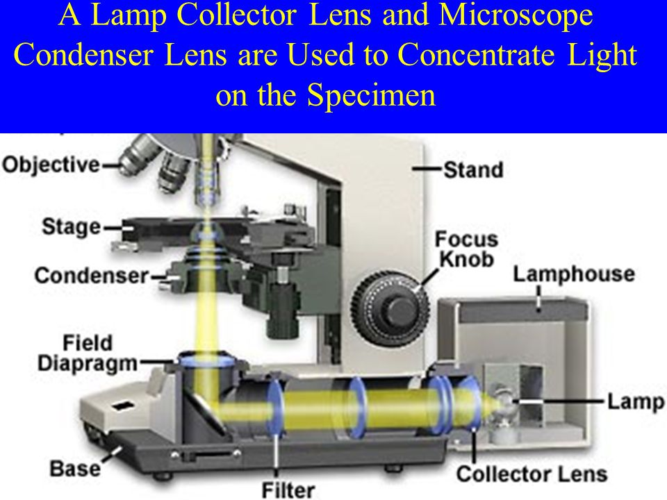 A Lamp Collector Lens and Microscope Condenser Lens are Used to Concentrate Light on the Specimen
