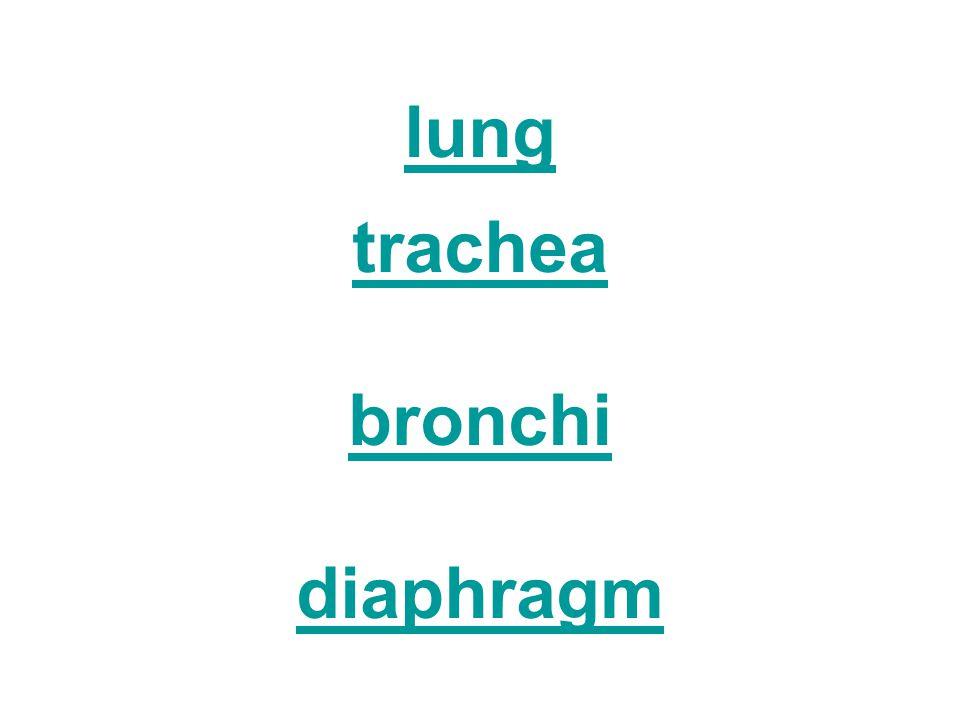 lung trachea bronchi diaphragm