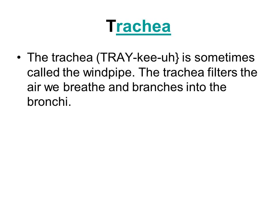 Trachearachea The trachea (TRAY-kee-uh} is sometimes called the windpipe.