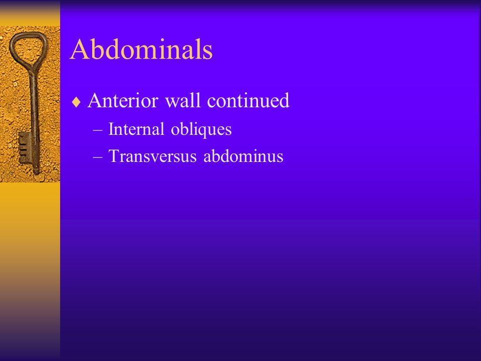 Abdominals  Anterior wall continued –Internal obliques –Transversus abdominus