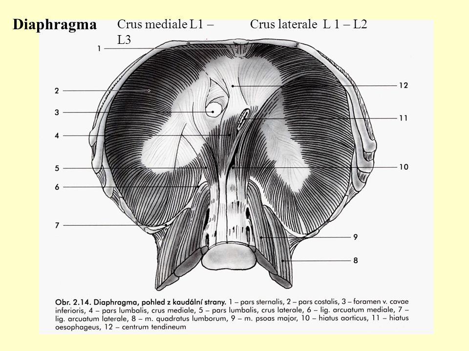 Diaphragma Crus mediale L1 – L3 Crus laterale L 1 – L2