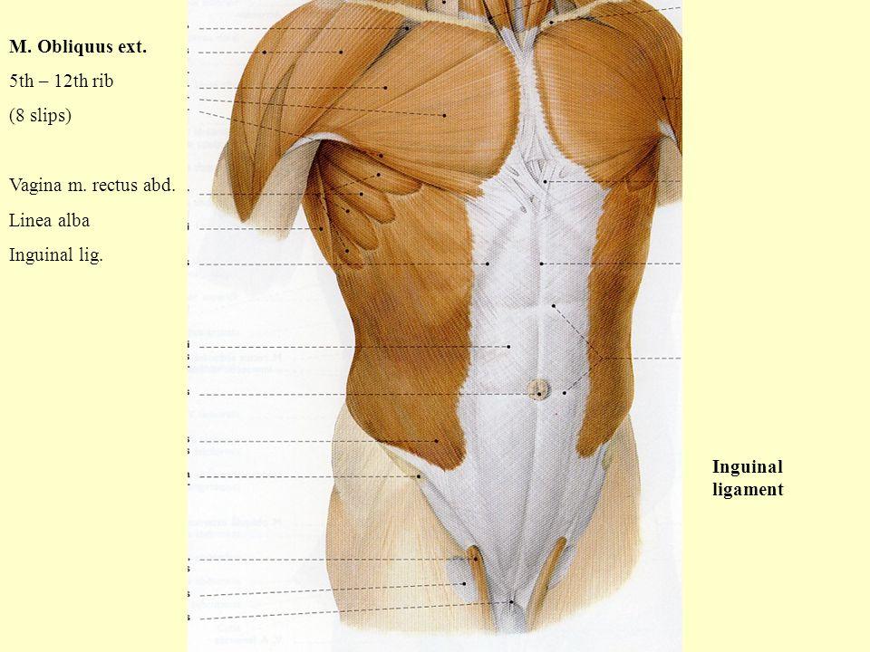 M. Obliquus ext. 5th – 12th rib (8 slips) Vagina m. rectus abd. Linea alba Inguinal lig. Inguinal ligament