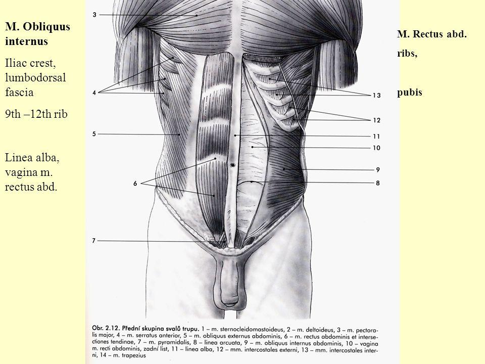 M. Obliquus internus Iliac crest, lumbodorsal fascia 9th –12th rib Linea alba, vagina m. rectus abd. M. Rectus abd. ribs, pubis