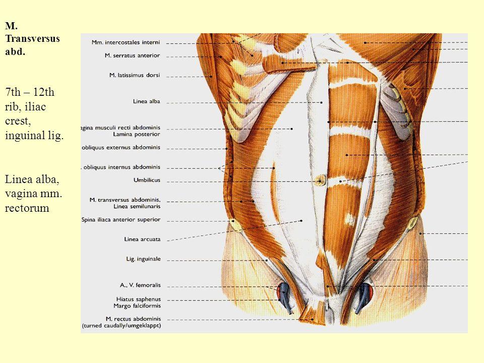 M. Transversus abd. 7th – 12th rib, iliac crest, inguinal lig. Linea alba, vagina mm. rectorum