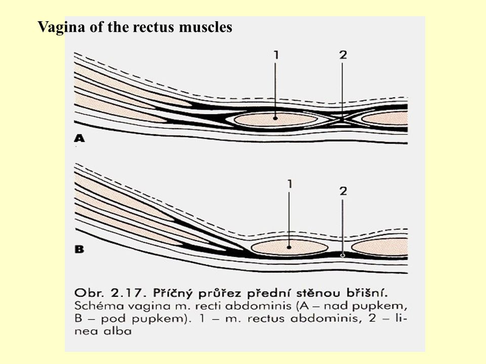 Vagina of the rectus muscles