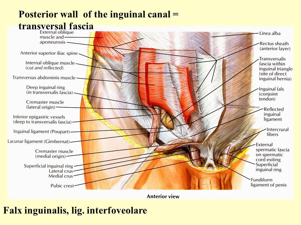 Posterior wall of the inguinal canal = transversal fascia Falx inguinalis, lig. interfoveolare
