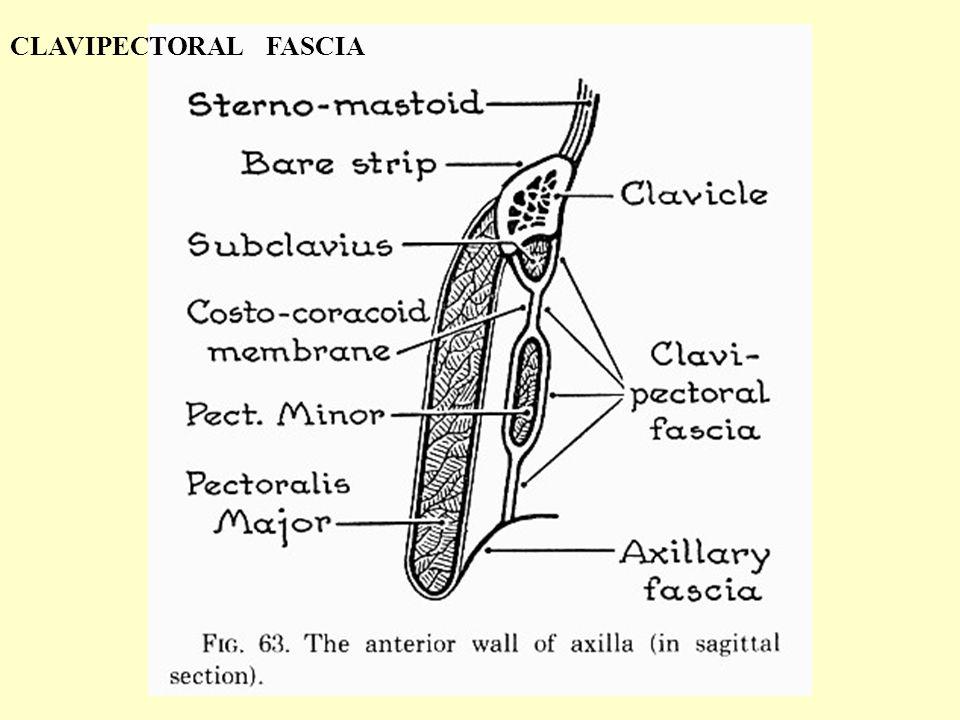 CLAVIPECTORAL FASCIA