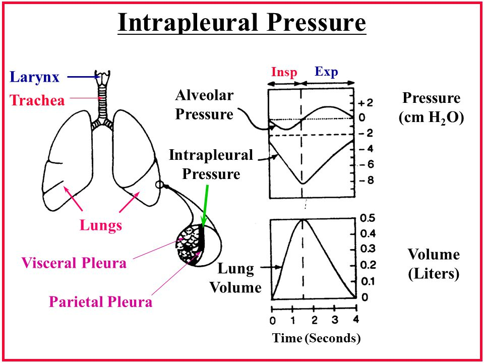Intrapleural Pressure Larynx Trachea Lungs Visceral Pleura Parietal Pleura Alveolar Pressure Intrapleural Pressure (cm H 2 O) Volume (Liters) Lung Volume Time (Seconds) Insp Exp