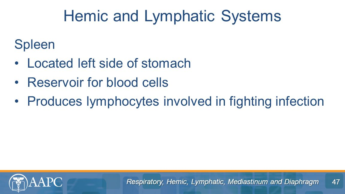 Respiratory, Hemic, Lymphatic, Mediastinum and Diaphragm Spleen Located left side of stomach Reservoir for blood cells Produces lymphocytes involved in fighting infection Hemic and Lymphatic Systems 47