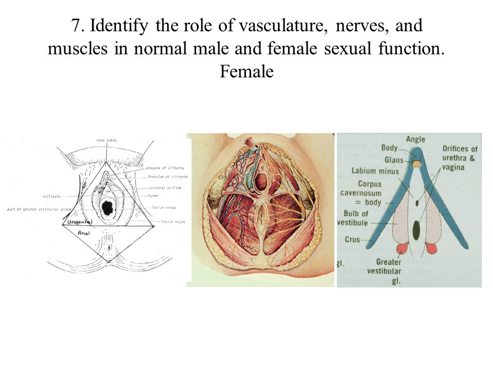 7. Identify the role of vasculature, nerves, and muscles in normal male and female sexual function. Male L-39 L-36 L-37 IschiocavernosusBulbospongiosu