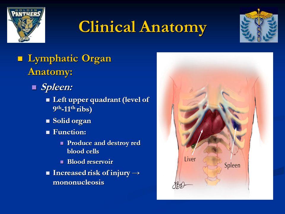 Clinical Anatomy Lymphatic Organ Anatomy: Lymphatic Organ Anatomy: Spleen: Spleen: Left upper quadrant (level of 9 th -11 th ribs) Left upper quadrant