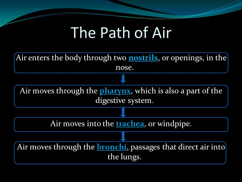 The Path of Air Air enters the body through two nostrils, or openings, in the nose. Air moves through the pharynx, which is also a part of the digesti