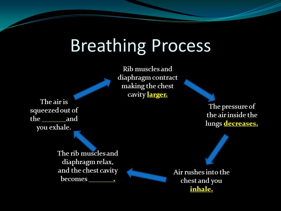 Breathing Process Rib muscles and diaphragm contract making the chest cavity larger. The air is squeezed out of the _______and you exhale. The pressur