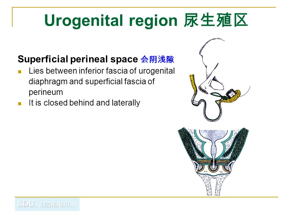 Superficial perineal space 会阴浅隙 Lies between inferior fascia of urogenital diaphragm and superficial fascia of perineum It is closed behind and latera