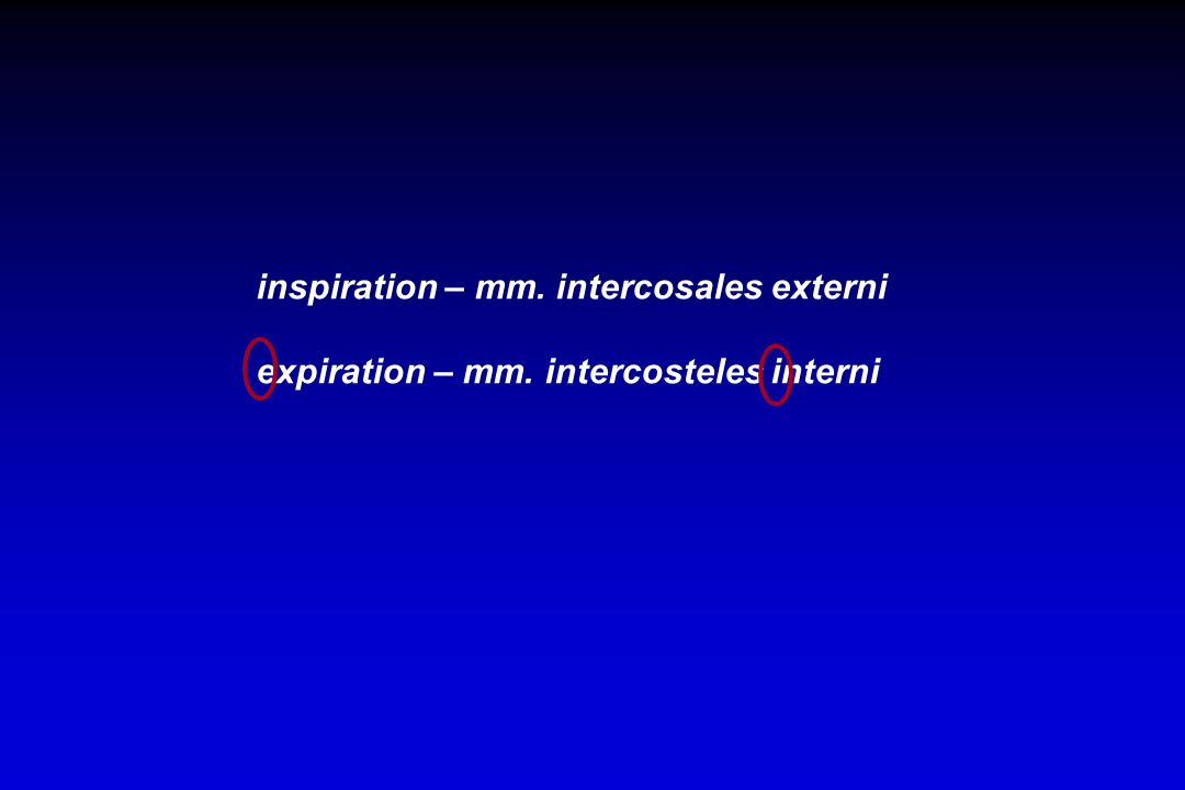 inspiration – mm. intercosales externi expiration – mm. intercosteles interni