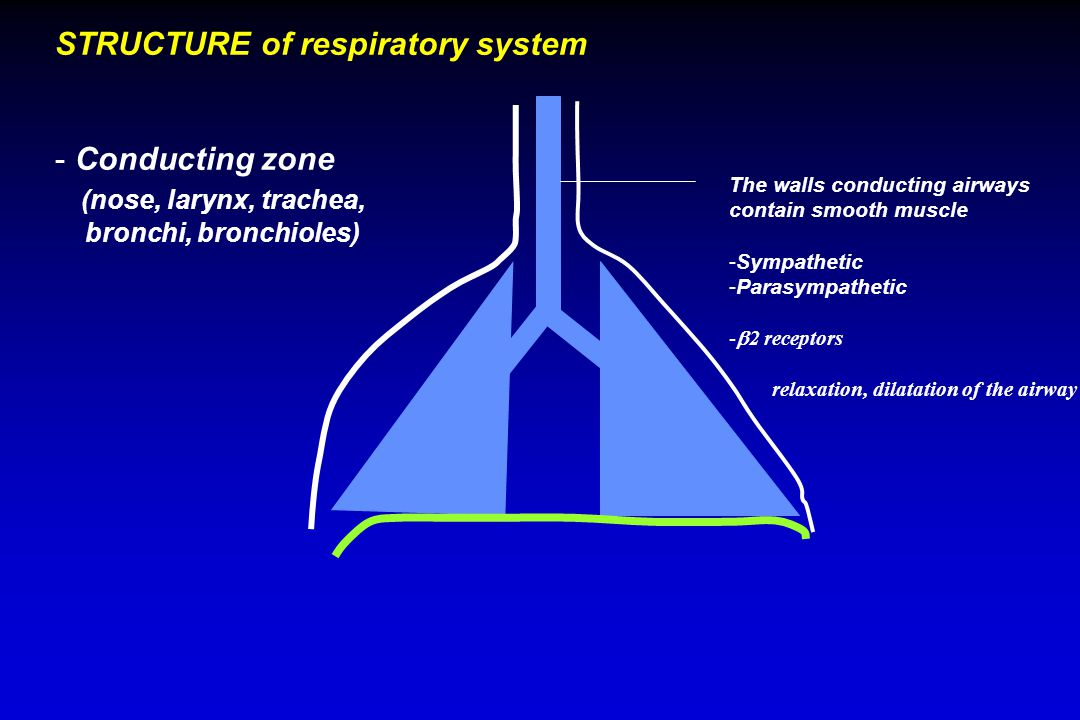STRUCTURE of respiratory system - Conducting zone (nose, larynx, trachea, bronchi, bronchioles) The walls conducting airways contain smooth muscle -Sympathetic -Parasympathetic -  2 receptors relaxation, dilatation of the airway