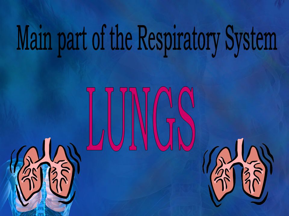 "The Respiratory System Air enters the body through the nose and mouth then travels down the trachea (the ""windpipe,"" or what connects your pharynx to"