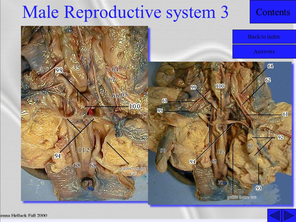 Contents Male Reproductive system 3 Back to index Answers