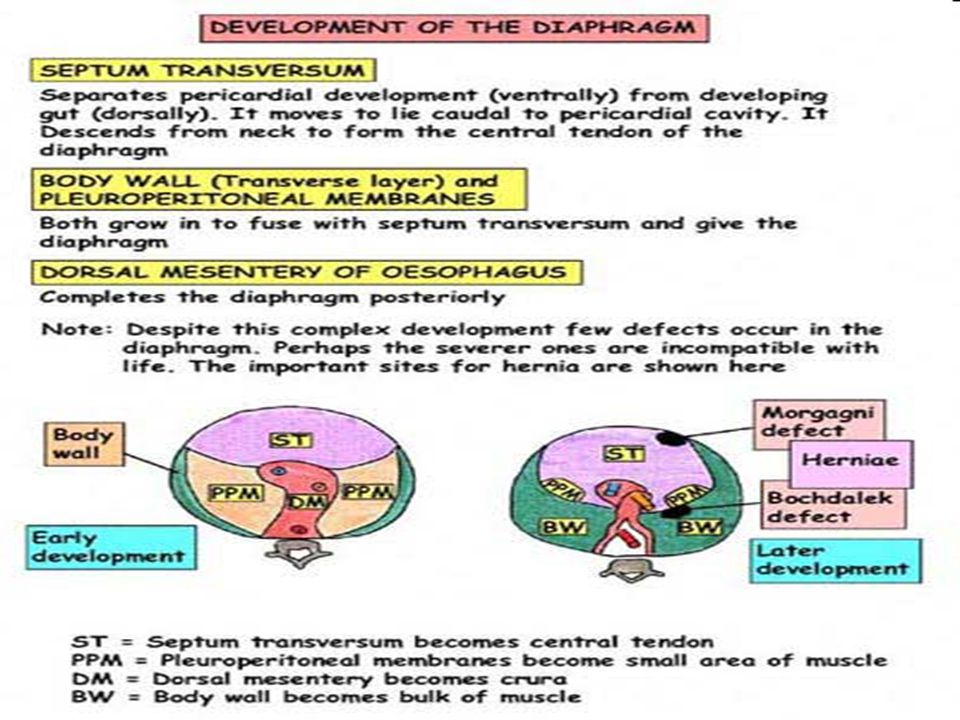 5/4/201514 Diaphragm development
