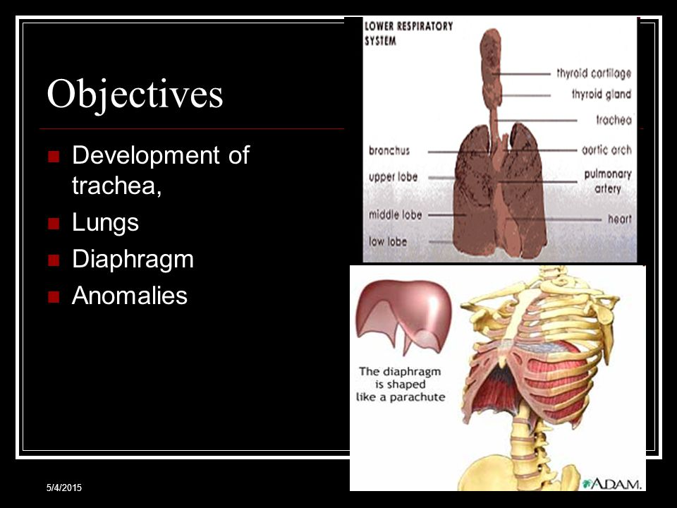 5/4/20152 Objectives Development of trachea, Lungs Diaphragm Anomalies