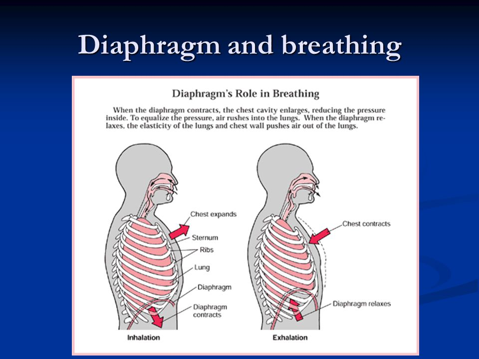 Diaphragm When you breathe out, diaphragm and chest muscles relax.