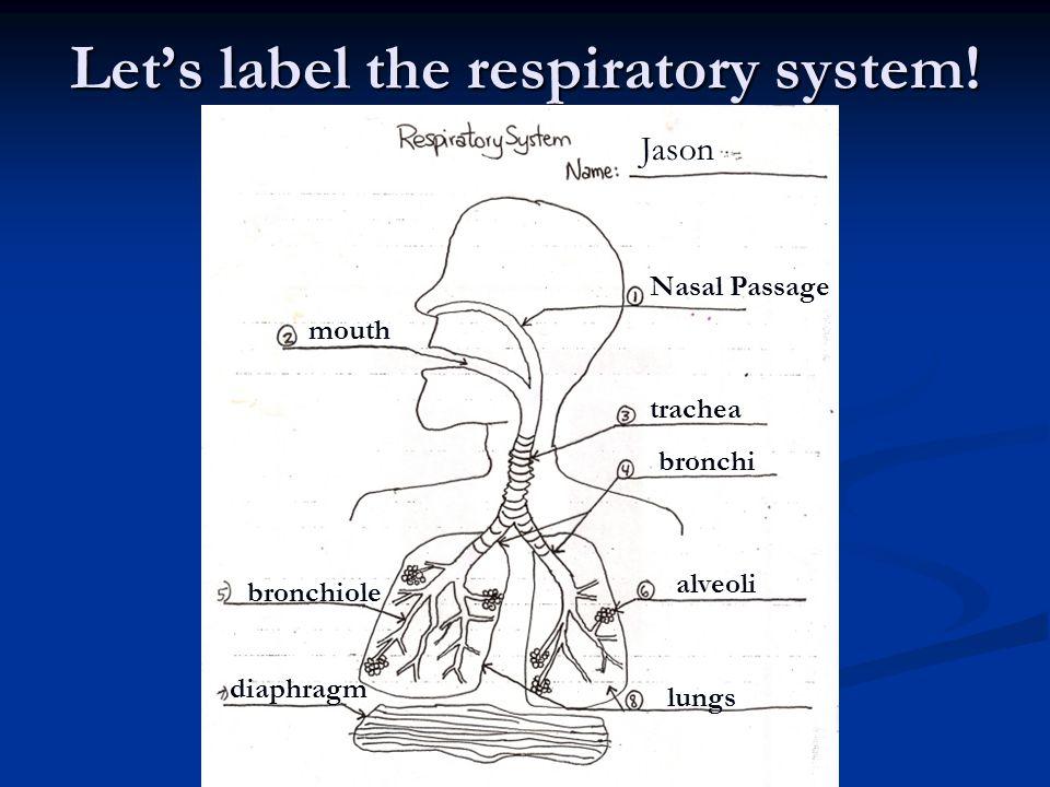 Respiratory System Body Systems