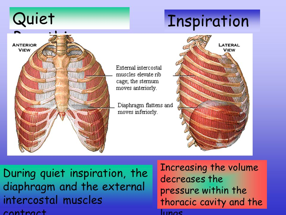 Quiet Breathing During quiet inspiration, the diaphragm and the external intercostal muscles contract.