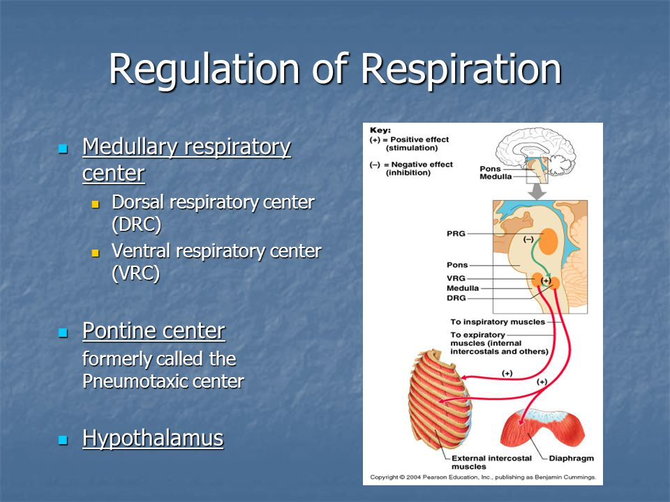Regulation of Respiration Medullary respiratory center Medullary respiratory center Dorsal respiratory center (DRC) Dorsal respiratory center (DRC) Ventral respiratory center (VRC) Ventral respiratory center (VRC) Pontine center Pontine center formerly called the Pneumotaxic center Hypothalamus Hypothalamus