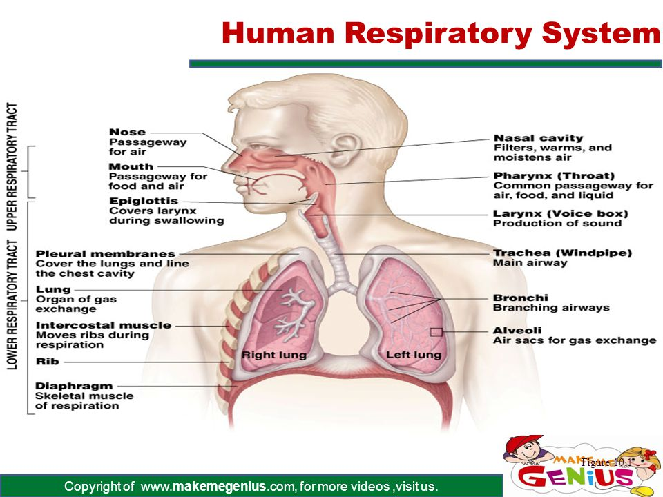 Copyright of www.makemegenius.com, for more videos,visit us. Human Respiratory System Figure 10.1