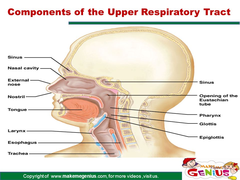 Copyright of www.makemegenius.com, for more videos,visit us. Components of the Upper Respiratory Tract Figure 10.2
