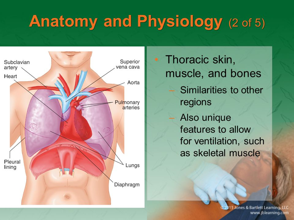 Anatomy and Physiology (2 of 5) Thoracic skin, muscle, and bones –Similarities to other regions –Also unique features to allow for ventilation, such a